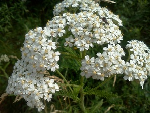 Yarrow: a friend to your health.